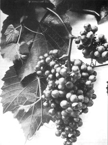 Vitis berlandieri from Bell County Texas